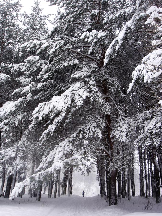 Σκιέρ στο χειμερινό δάσος στοκ εικόνες