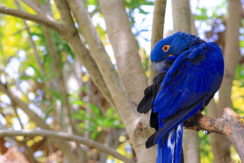 Σκιές των μπλε φτερών Macaw κοβαλτίου στοκ εικόνες με δικαίωμα ελεύθερης χρήσης