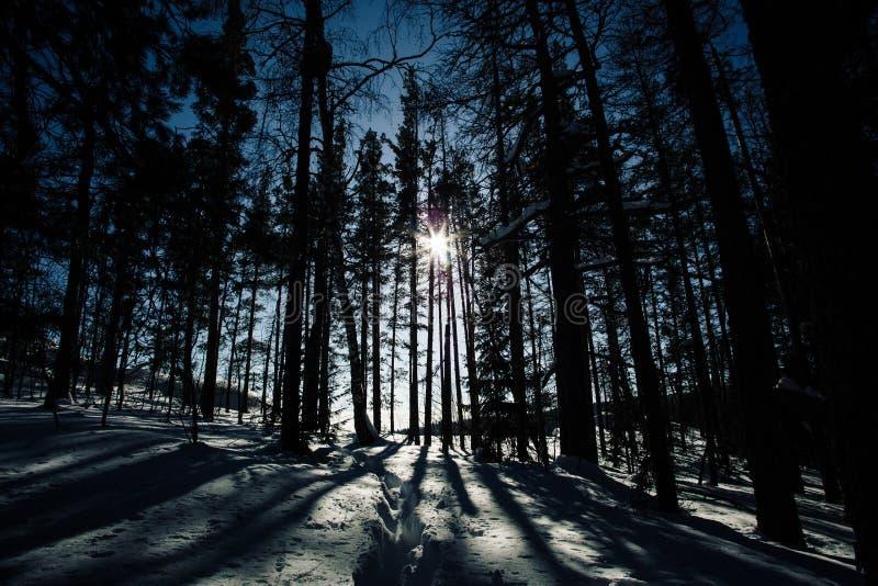 Σκιές των ψηλών δέντρων σε ένα χειμερινό δάσος στοκ εικόνες