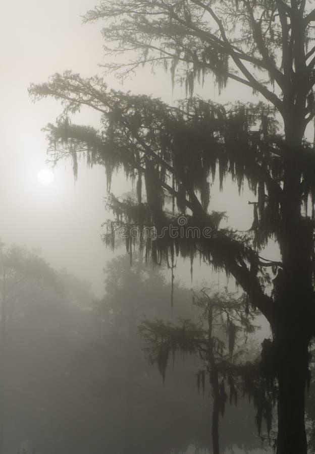 Σκιαγραφία δέντρων κυπαρισσιών στην υδρονέφωση στη λίμνη στοκ εικόνες με δικαίωμα ελεύθερης χρήσης
