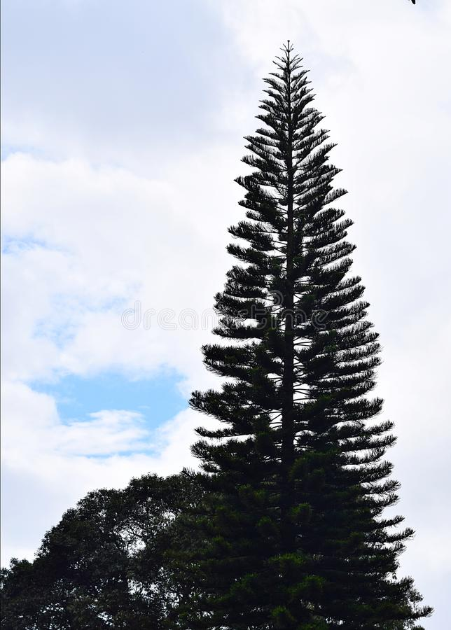 Σκιαγραφία ενός τεράστιου ψηλού χριστουγεννιάτικου δέντρου ενάντια στα άσπρους σύννεφα και το μπλε ουρανό - φυσικό υπόβαθρο στοκ εικόνα με δικαίωμα ελεύθερης χρήσης