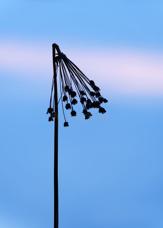 Σκιαγραφία ενός kinked panicle στη στενή ζώνη οξύτητας στο φως βραδιού στην μπλε ώρα, άποψη λεπτομέρειας, κινηματογράφηση σε πρώτ στοκ εικόνες