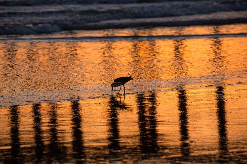 Σκιαγραφία και αντανάκλαση shorebird που ψάχνει για τα τρόφιμα στην εξερχόμενη παλίρροια στοκ εικόνες με δικαίωμα ελεύθερης χρήσης