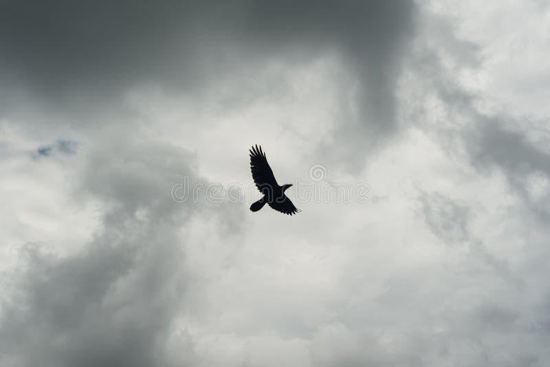 Σκιαγραφία του μαύρου κόρακα που πετά πέρα από τον γκρίζο ουρανό Πιέζοντας δραματικό υπόβαθρο στοκ εικόνες με δικαίωμα ελεύθερης χρήσης