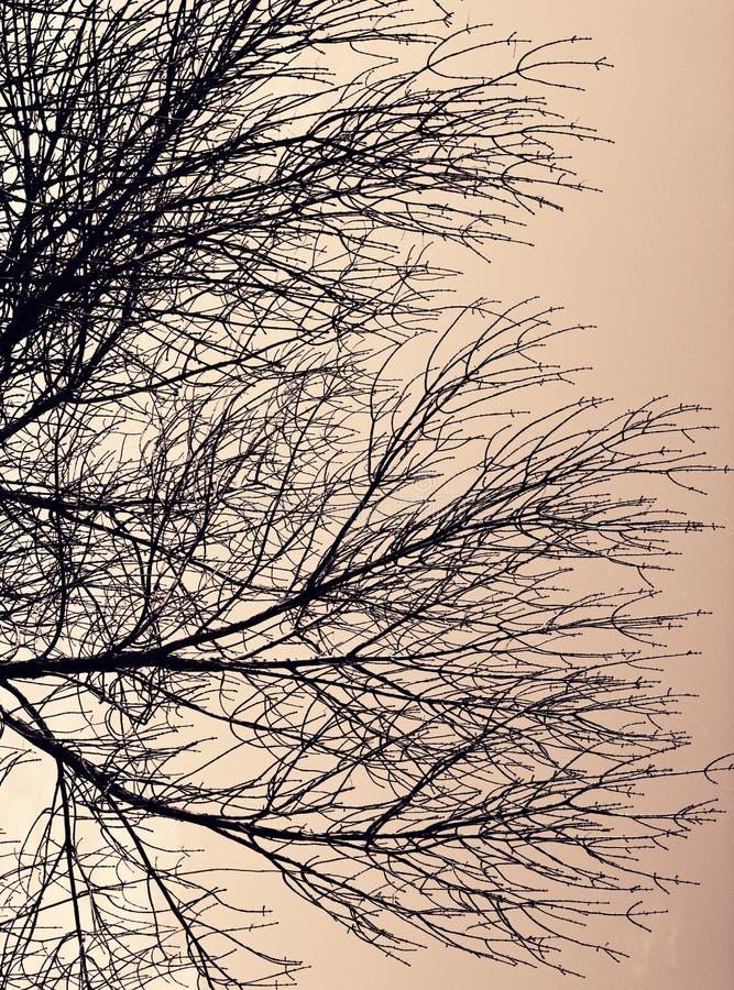 Σκιαγραφία του νεκρού δέντρου στοκ εικόνες