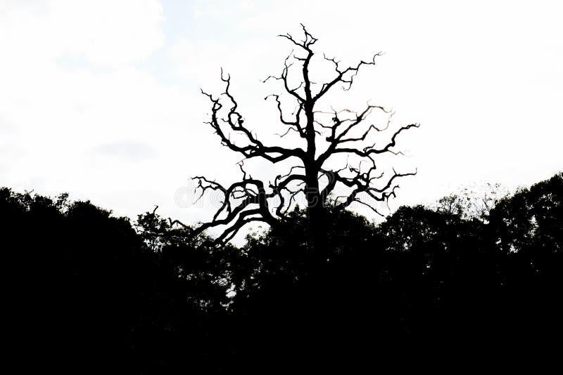 Σκιαγραφία του ξηρού δέντρου στο πάρκο του άσπρου υποβάθρου στοκ εικόνες με δικαίωμα ελεύθερης χρήσης