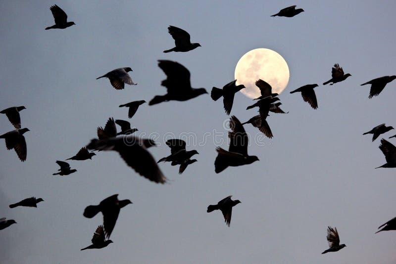 Σκιαγραφία του πετώντας περιστεριού στοκ φωτογραφίες