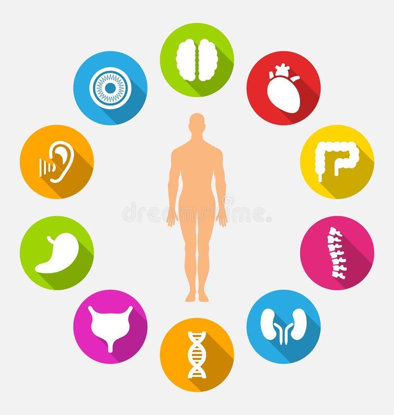 Σκιαγραφία των αρσενικών και εσωτερικών ανθρώπινων οργάνων απεικόνιση αποθεμάτων