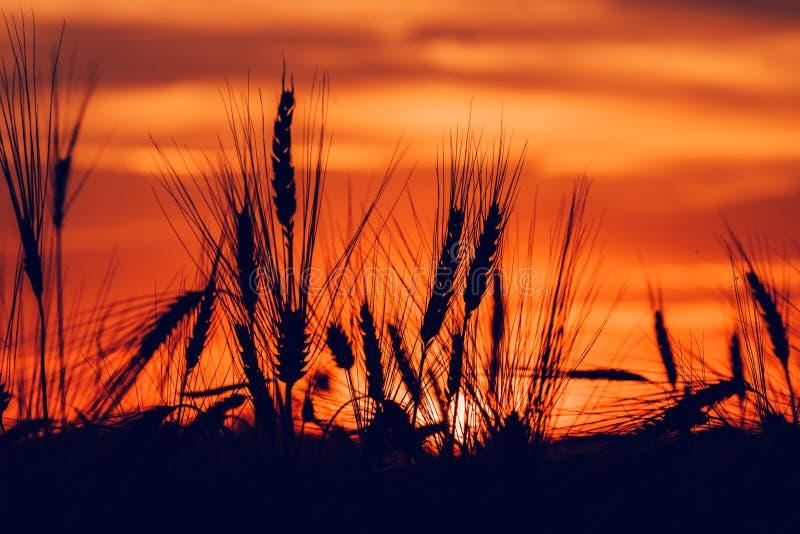 Σκιαγραφία των αυτιών σίτου στο ηλιοβασίλεμα στοκ εικόνες