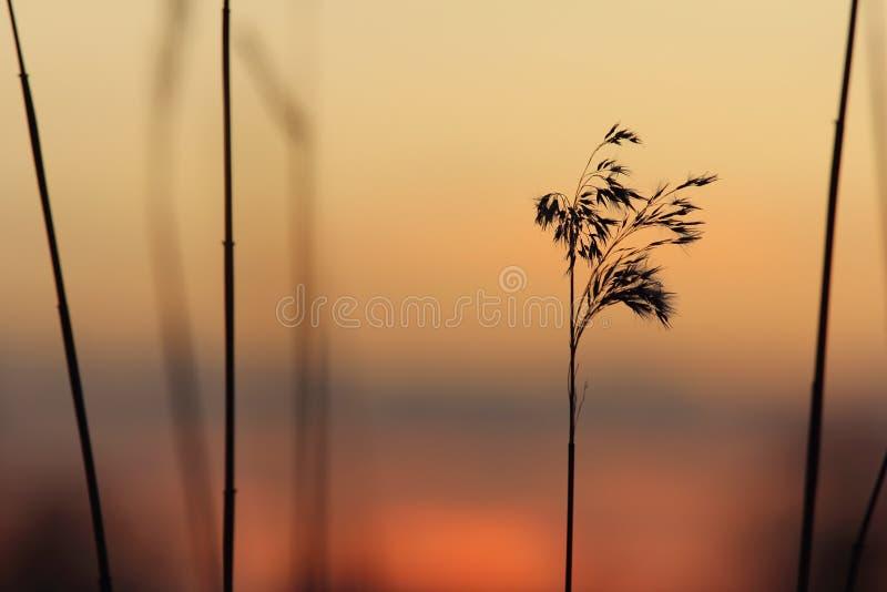 Σκιαγραφία των καλάμων στο ηλιοβασίλεμα Στοκ Εικόνες
