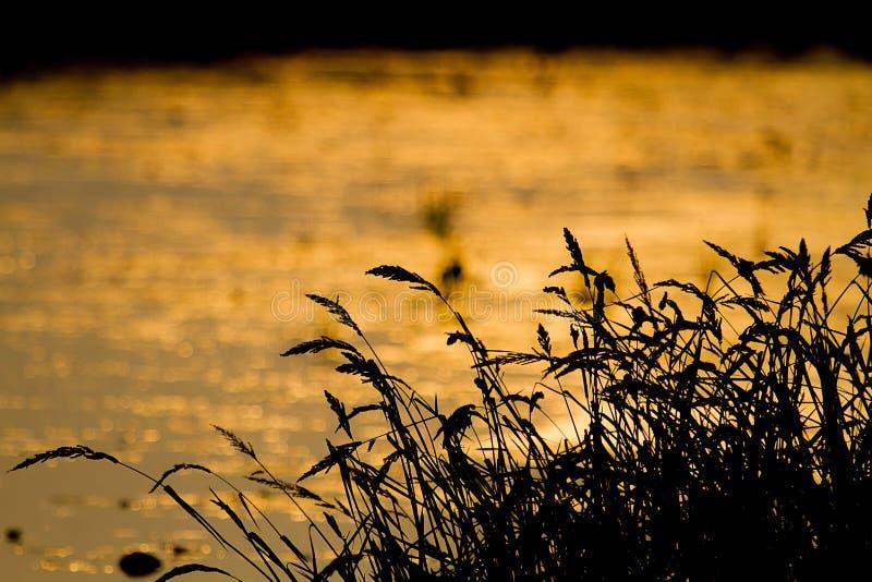 Σκιαγραφία των λουλουδιών χλόης στο θολωμένο χρυσό κλίμα du στοκ φωτογραφίες με δικαίωμα ελεύθερης χρήσης