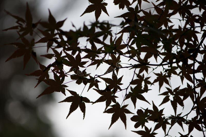 Σκιαγραφία των φύλλων σφενδάμου στην εποχή φθινοπώρου στο ναό kiyomizu-Dera στοκ εικόνες