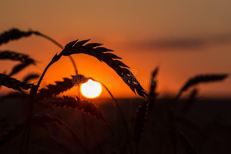 Σκιαγραφία χλόης ενάντια στο ηλιοβασίλεμα στοκ φωτογραφία
