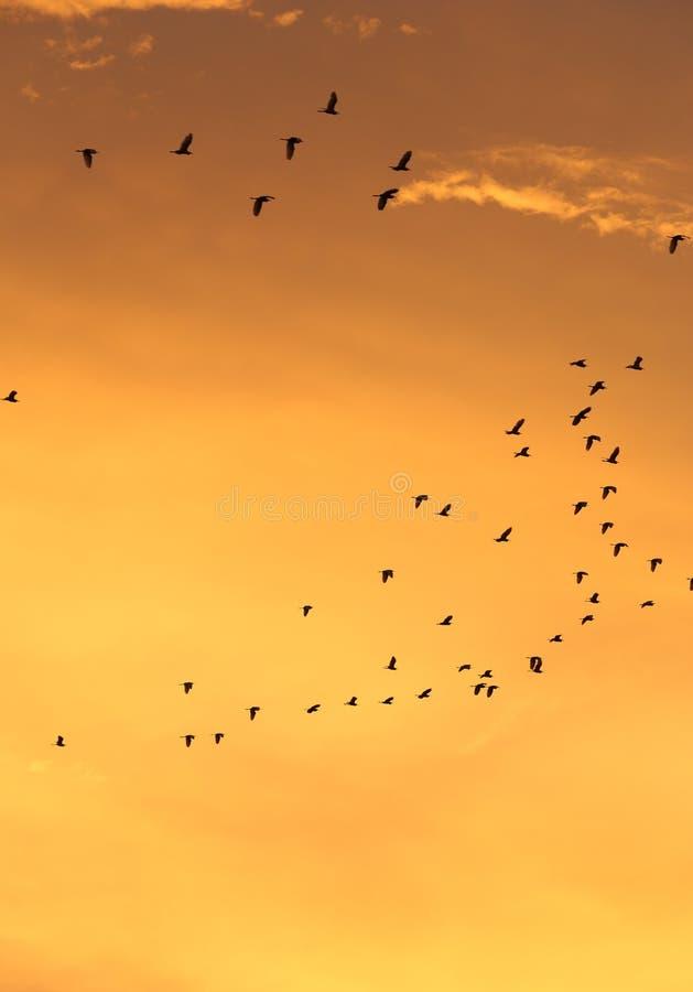 Σκιαγραφίες των πετώντας πουλιών με τον ουρανό και το σύννεφο ηλιοβασιλέματος στοκ φωτογραφίες με δικαίωμα ελεύθερης χρήσης