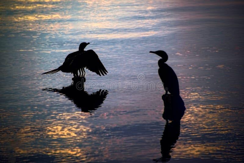 Σκιαγραφίες των πουλιών που στηρίζονται στα ξύλινα υπολείμματα αποβαθρών σε μια λίμνη δ στοκ εικόνα