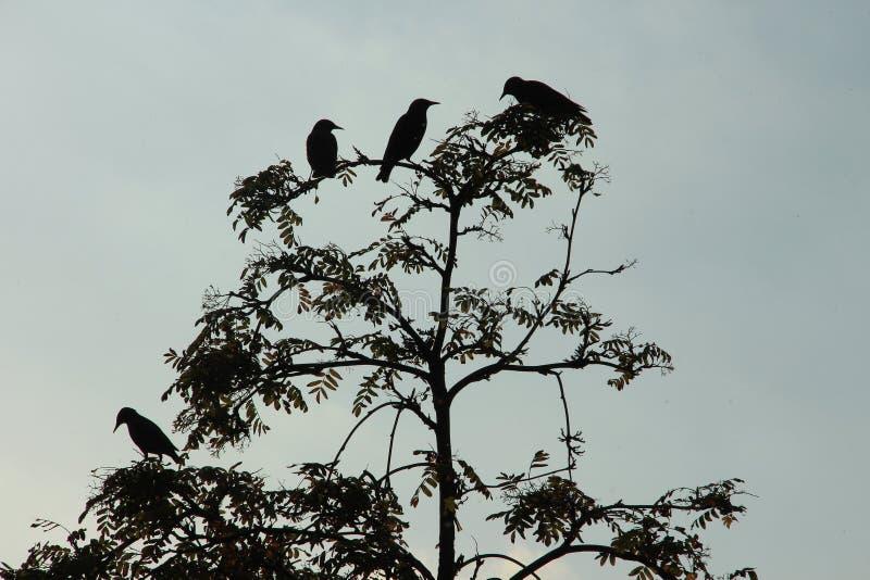 Σκιαγραφίες των πουλιών στο δέντρο σορβιών στοκ εικόνα