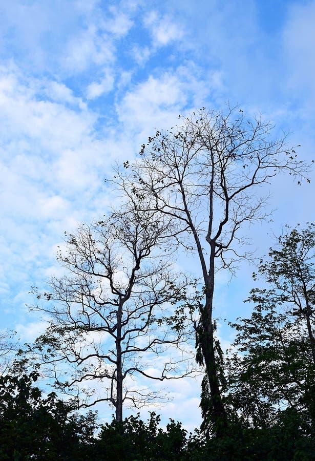 Σκιαγραφίες των ψηλών δέντρων με τους κλάδους στο κλίμα των άσπρων σύννεφων στο μπλε ουρανό - φυσικό Treescape στο λυκόφως στοκ φωτογραφία