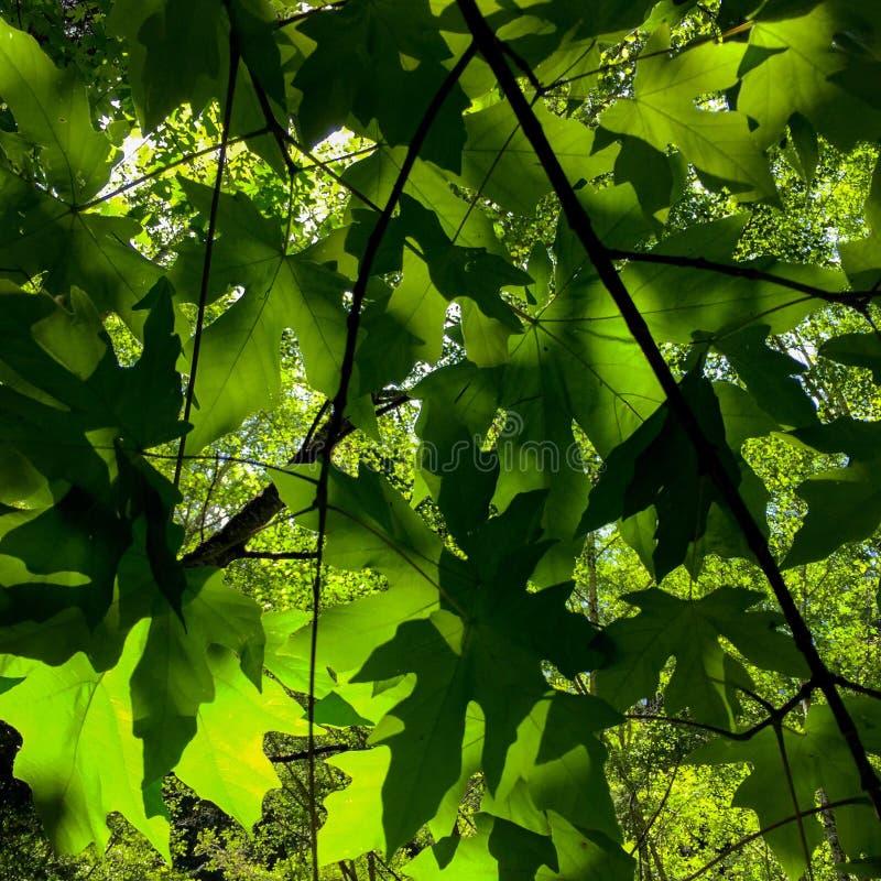 Σκιερά φύλλα στοκ εικόνα με δικαίωμα ελεύθερης χρήσης
