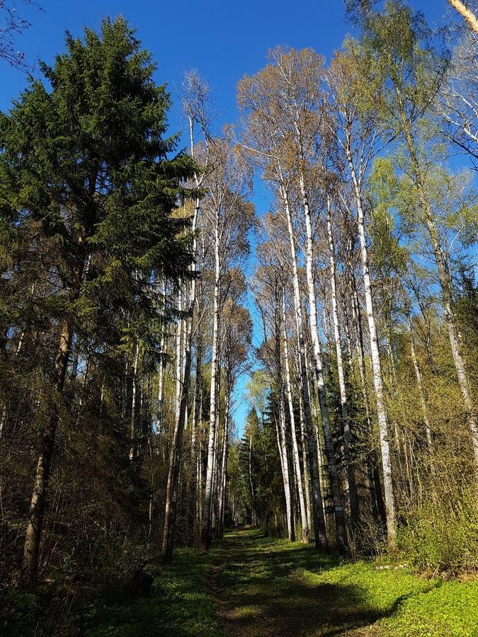 Σκιερή πορεία στο δάσος κοντά στην πόλη Kaluga με τα άσπρα δέντρα, τις ερυθρελάτες, τη χλόη και το φωτεινό μπλε ουρανό στην ηλιόλ στοκ εικόνα με δικαίωμα ελεύθερης χρήσης