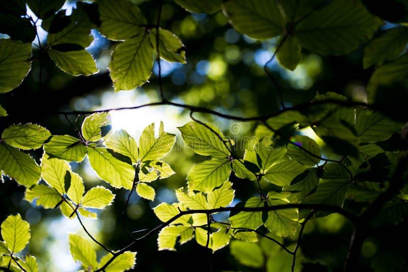 Σκληρά sunlights που σπάζουν τη γούρνα τα πράσινα φύλλα οξιών στοκ εικόνα με δικαίωμα ελεύθερης χρήσης