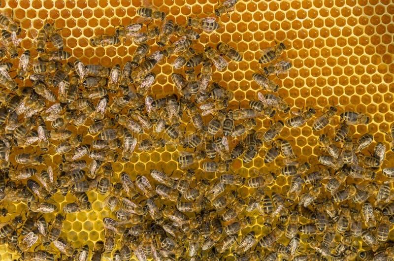 Σκληρή εργασία μελισσών κολλώντας επάνω το φρέσκο μέλι στοκ εικόνες