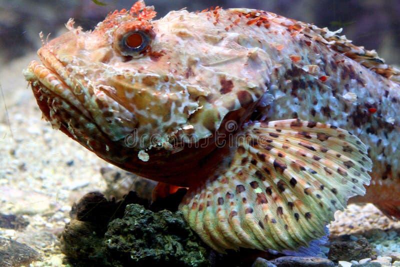σκορπιός 5 ψαριών στοκ φωτογραφίες με δικαίωμα ελεύθερης χρήσης