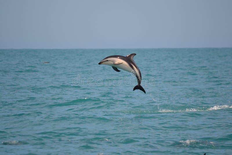 Σκοτεινά δελφίνια σε Kaikoura, Νέα Ζηλανδία στοκ εικόνες