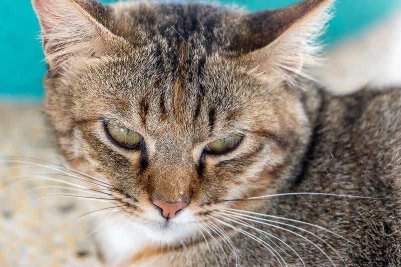 Σκοτεινά καφετιά κίτρινα μάτια γατών στοκ εικόνες