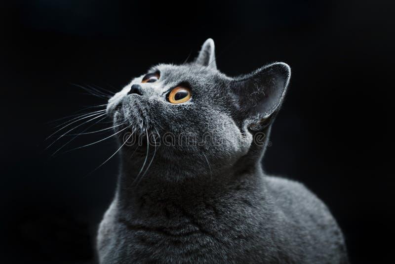 σκοτεινά μάτια γατών κίτριν&alp στοκ φωτογραφίες με δικαίωμα ελεύθερης χρήσης