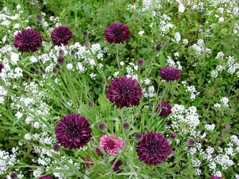 Σκοτεινά πορφυρά cornflowers και άσπρα γλυκά λουλούδια alyssum στοκ εικόνες με δικαίωμα ελεύθερης χρήσης