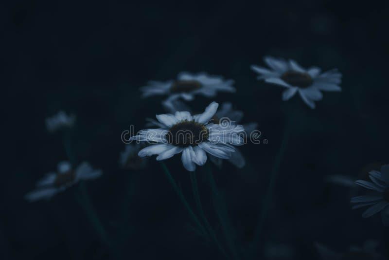 Σκοτεινή αισθητική των μαργαριτών мрачная эстетика ромашек στοκ φωτογραφία