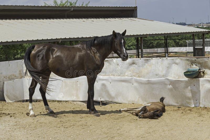 Σκοτεινή φοράδα αλόγων κόλπων αραβική που προσέχει πέρα από Foal της στοκ εικόνα
