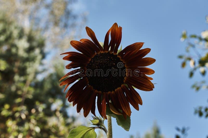 Σκοτεινός κίτρινος διακοσμητικός ηλίανθος στοκ φωτογραφία
