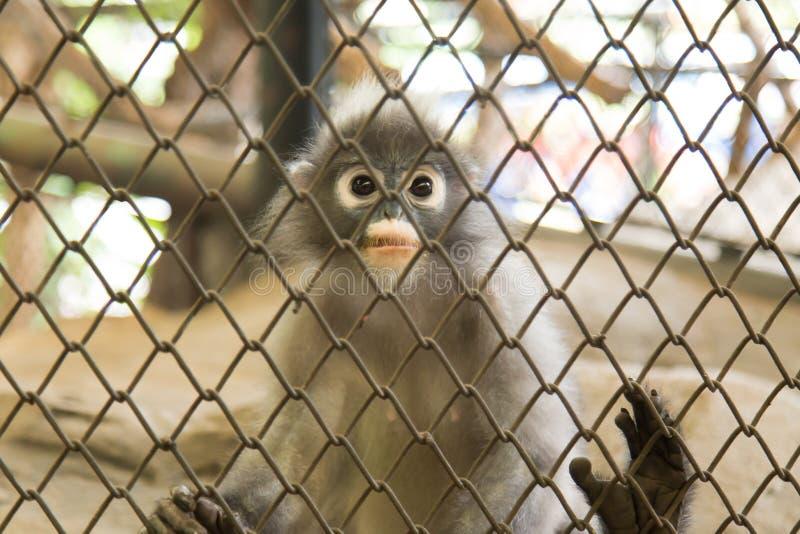 Σκοτεινός πίθηκος φύλλων ή με γυαλιά Langur στο ζωολογικό κήπο Dusit, Ταϊλάνδη στοκ εικόνα με δικαίωμα ελεύθερης χρήσης