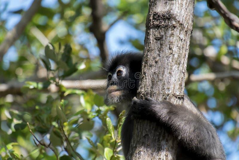 Σκοτεινός πίθηκος φύλλων, με γυαλιά Langur στην Ταϊλάνδη στοκ φωτογραφία με δικαίωμα ελεύθερης χρήσης