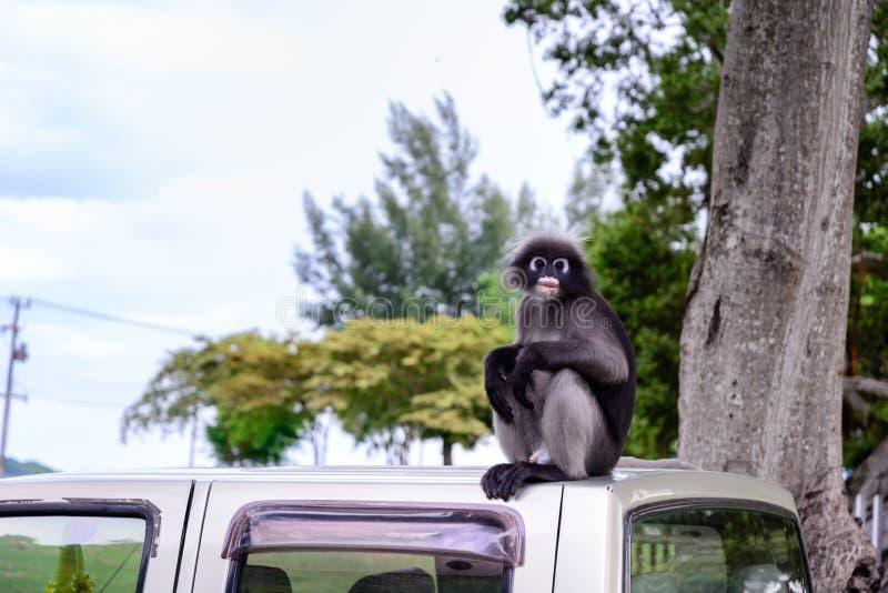 Σκοτεινός πίθηκος φύλλων, σκοτεινό langur, με γυαλιά langur στοκ εικόνες με δικαίωμα ελεύθερης χρήσης