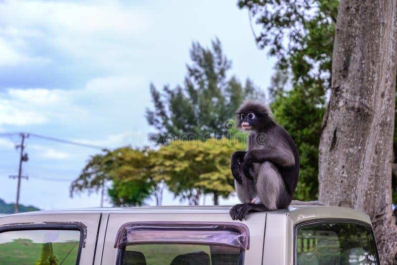 Σκοτεινός πίθηκος φύλλων, σκοτεινό langur, με γυαλιά langur στοκ φωτογραφίες