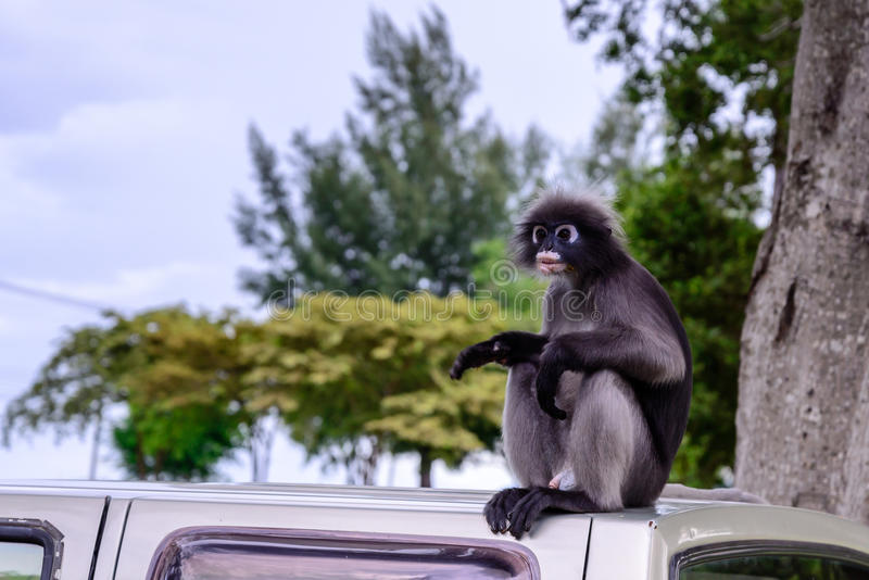 Σκοτεινός πίθηκος φύλλων, σκοτεινό langur, με γυαλιά langur στοκ εικόνες