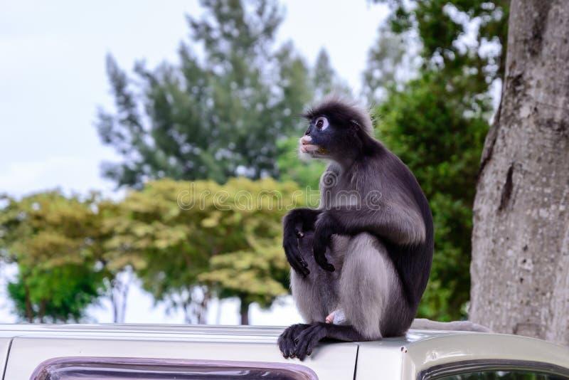 Σκοτεινός πίθηκος φύλλων, σκοτεινό langur, με γυαλιά langur στοκ εικόνα