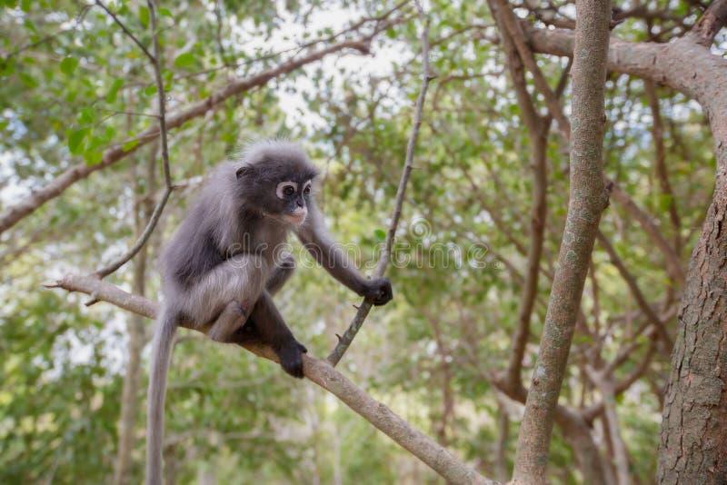 Σκοτεινός πίθηκος φύλλων, σκοτεινό langur, με γυαλιά langur στοκ φωτογραφία