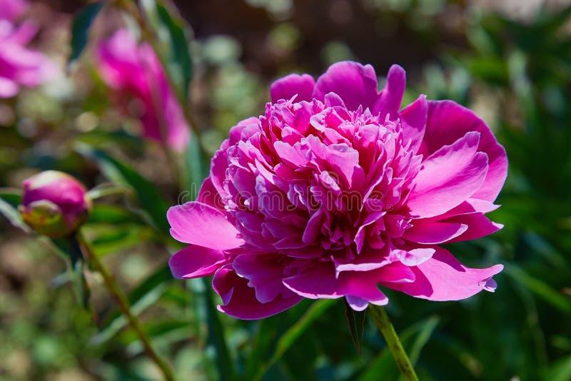 Σκοτεινός ρόδινος ή ροδανιλίνης peonies στον κήπο στοκ εικόνα
