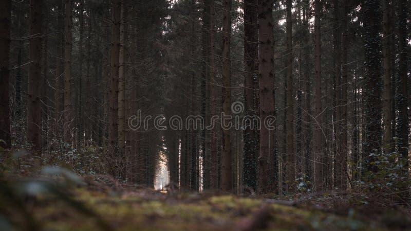Σκοτεινό δραματικό δάσος στο Βέλγιο στοκ φωτογραφία