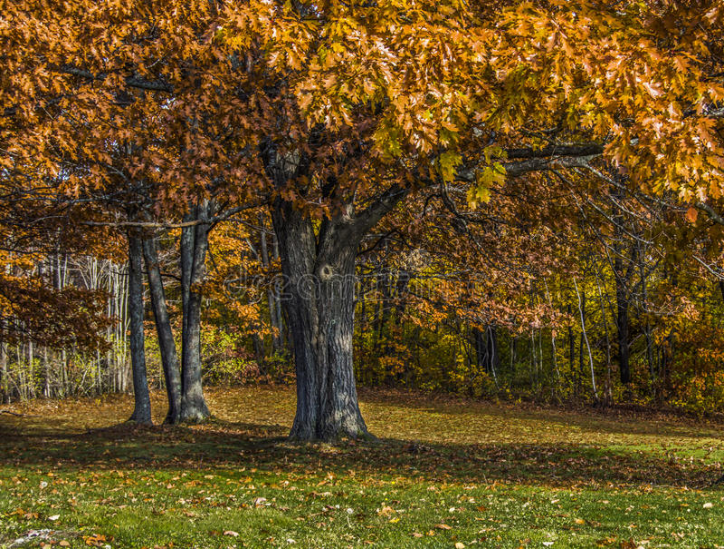 Σκουριασμένα πορτοκαλιά δρύινα φύλλα στα τέλη του φθινοπώρου στοκ φωτογραφία