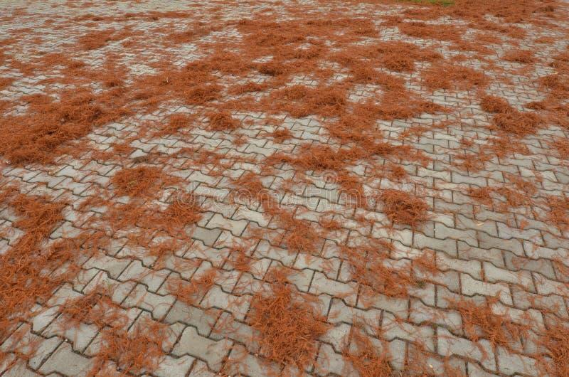 Σκουριασμένο φύλλωμα φθινοπώρου του φαλακρού κυπαρισσιού που καλύπτει το πεζοδρόμιο πάρκων στοκ φωτογραφίες με δικαίωμα ελεύθερης χρήσης