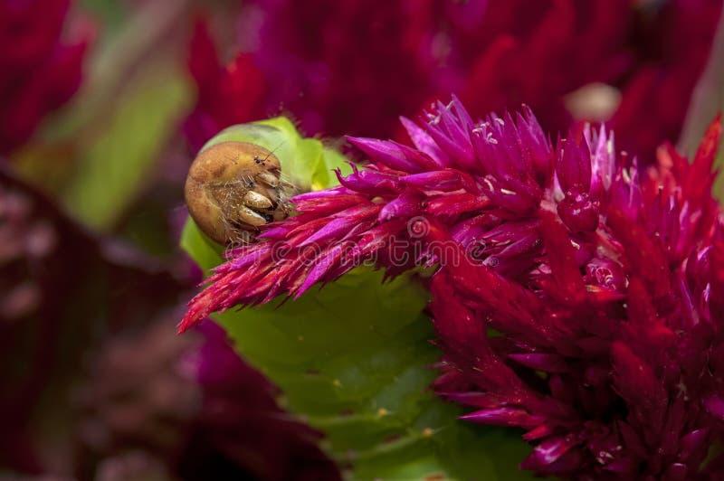 Σκουλήκι σκώρων Polyphemus στο κόκκινο plumosa celosia στοκ φωτογραφία