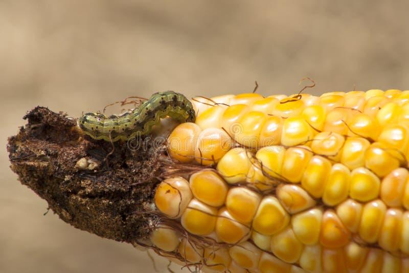Σκουλήκι στο καλαμπόκι στοκ εικόνα
