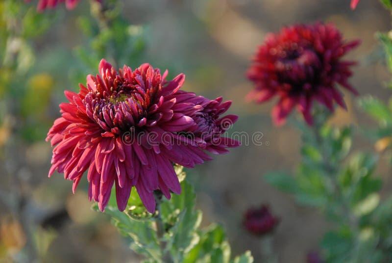 Σκούρο κόκκινο χρυσάνθεμο, δύο λουλούδια στον ήλιο φθινοπώρου στοκ φωτογραφίες
