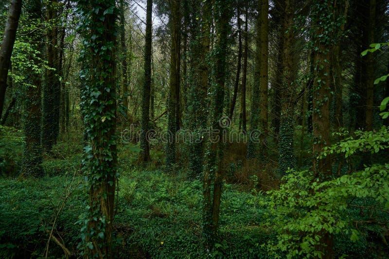 Σκούρο πράσινο δάσος ανοίξεων στην Ιρλανδία στοκ φωτογραφία με δικαίωμα ελεύθερης χρήσης