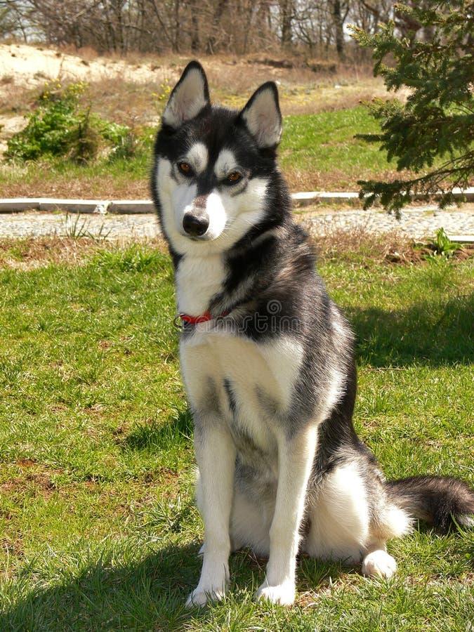 σκυλί ένα Σιβηριανός στοκ φωτογραφίες με δικαίωμα ελεύθερης χρήσης