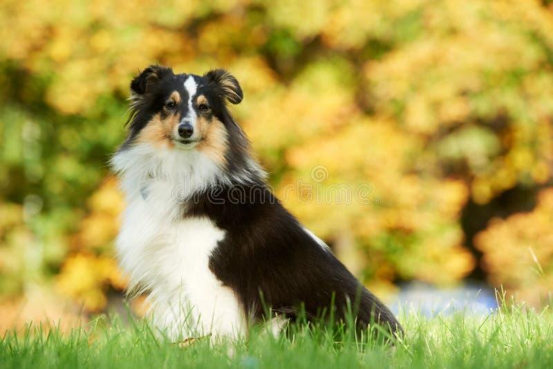 σκυλί ένα τσοπανόσκυλο Shetla στοκ φωτογραφία με δικαίωμα ελεύθερης χρήσης